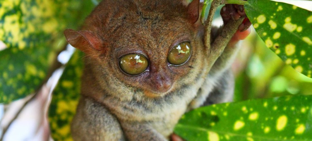 Tour to the Philippine Tarsier Sanctuary